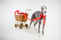 Santa whippet with christmas cart Royalty Free Stock Images