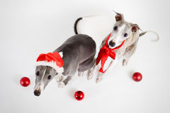 Santa whippets with christmas baubles Royalty Free Stock Photography