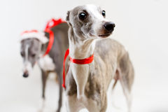 Santa whippets with christmas cart Royalty Free Stock Images