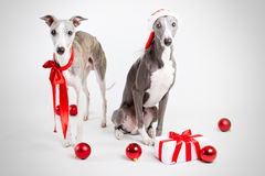 Santa whippets with christmas ginf and red baubles Royalty Free Stock Image