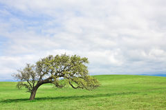 Santa Ynez Oak Royalty Free Stock Image