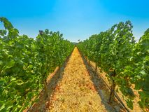Santa Ynez Valley California. Rows of white grapes in one of many vineyards. Los Olivos, Santa Ynez Valley, north of Santa Barbara, California, United States royalty free stock photos