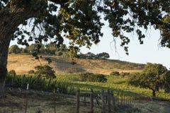 Santa Ynez vineyard during springtime at sunset. An old oak tree frames the scene of a Santa Ynez vineyard during springtime at sunset. Rolling hills of grass Stock Image