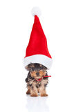 Santa yorkie. Yorkie toy puppy standing with a big santa hat on white background Stock Photo