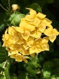 Santan amarelo imagens de stock royalty free