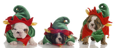 Santas little helpers. Santa's helpers - three english bulldog puppies dressed up as elves Stock Images