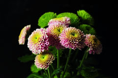 Santini chrysanthemum Royalty Free Stock Image