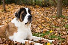 Santo Bernard Dog en otoño Foto de archivo libre de regalías