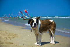Santo Bernard en la playa Foto de archivo libre de regalías