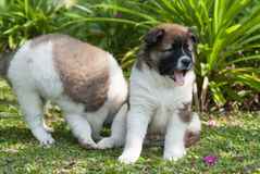 Santo Bernard Puppies Imagen de archivo