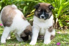 Santo Bernard Puppies Fotos de archivo libres de regalías
