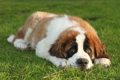 Santo lindo Bernard Purebred Puppy Imagenes de archivo
