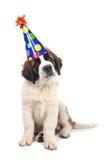 Santo lindo Bernard Purebred Puppy Fotografía de archivo