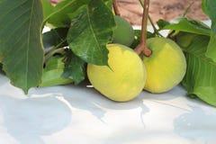 Santol amarelo Foto de Stock Royalty Free