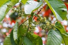 Santol-Blume stockbilder