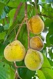 Santol Frucht auf Baum Stockbilder