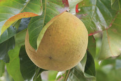 Santol fruit Royalty Free Stock Photography