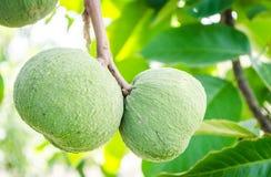 Santol fruit Royalty Free Stock Image