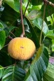 Santol Fruit Stock Photo