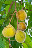 Santol  fruit on tree Stock Images