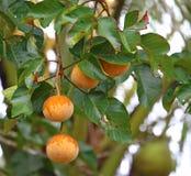 Santol fruits Stock Images