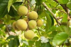 Santol fruits on tree in the garden Stock Photos