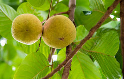 Santol fruits on tree in the garden Royalty Free Stock Images