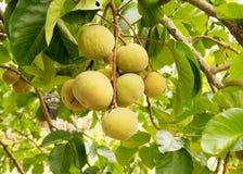Santol fruits on tree in the garden Stock Image