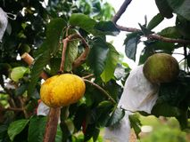 Ripe santol or sentol fruit. The fresh yellow tropical fruit with green leave on tree. stock image
