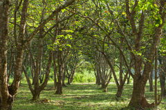 Santol tree. Morning in the santol garden Stock Image