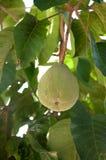 Santol verde fresco su un ramo dell'albero Immagini Stock