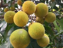 Free Santol / Wild Mangosteen / Cotton Fruit / Buah Sentul Royalty Free Stock Photo - 129923455