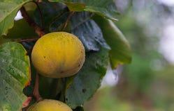 Santolfruit het hangen op een boom in de tuin stock afbeeldingen