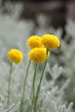 Santolina chamaecyparissus Stockfoto