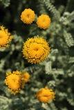 Santolina chamaecyparissus Blühen Lizenzfreie Stockbilder