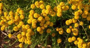 Santolina chamaecyparissus, traditional wild medicinal plant wit royalty free stock photos