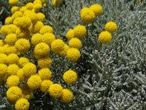 Santolina del fiore Fotografia Stock Libera da Diritti