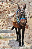 Γάιδαρος Santorini Στοκ Φωτογραφίες