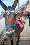 Santorini donkey Royalty Free Stock Images