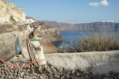 Santorini donkey. A donkey with colourful halter and bridle on the Greek holiday island of Santorini stock image