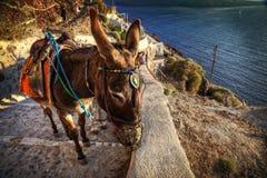 Santorini donkey Stock Photography