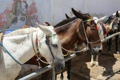 Santorini Donkey Greece Royalty Free Stock Photos