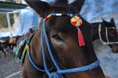 Santorini Donkey - symbol of the island. Santorini, Thira, Greece. Donkey in Fira on Santorini in the Aegean. Traditional Greek royalty free stock photos