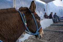 Santorini Donkey - symbol of the island. Santorini, Thira, Greece. Donkey in Fira on Santorini in the Aegean. Traditional Greek stock photography