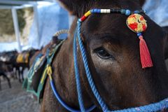 Santorini Donkey - symbol of the island. Santorini, Thira, Greece. Donkey in Fira on Santorini in the Aegean. Traditional Greek stock image