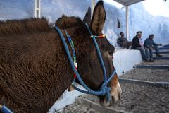 Santorini Donkey - symbol of the island. Santorini, Thira, Greece. Donkey in Fira on Santorini in the Aegean. Traditional Greek royalty free stock images