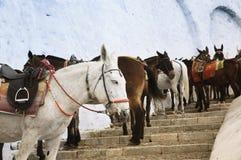 Santorini Donkeys Stock Image