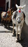 Santorini donkeys stock photo