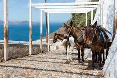 Santorini donkeys, Greece Stock Photos