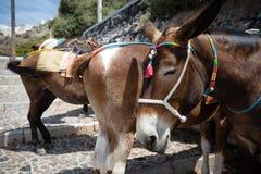 Santorini donkeys, Greece Royalty Free Stock Photography